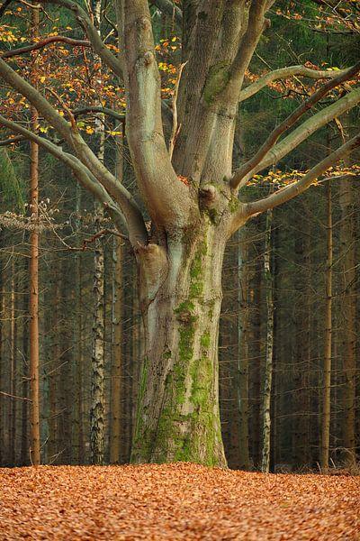 Dikke boom in de herfst van Merijn van der Vliet