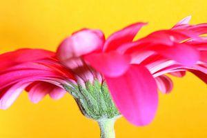 pink gerbera flower