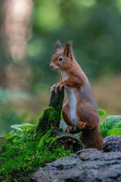Neugieriges Eichhörnchen. von Albert Beukhof