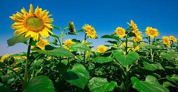 Sonnenblume sur Hennnie Keeris