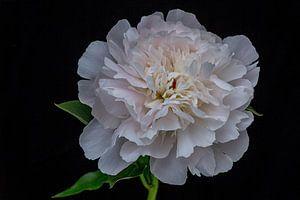 Wit roze pioenroos tegen een donkere achtergrond van