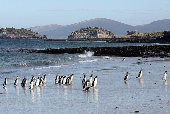 Pinguïns op het strand van Carcass Island