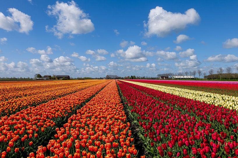 tulpenvelden van Elly van Veen