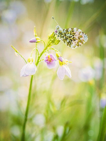 Voorjaars vlindertje