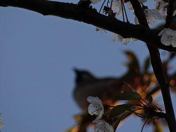 Merel in de kersenboom van