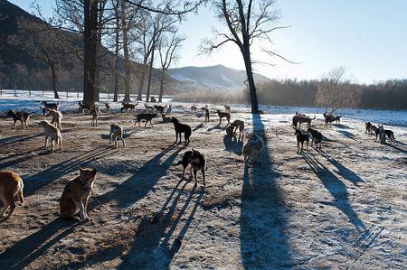 Hondensleetocht in Mongolië