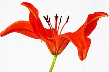 Rote Lilie von Esther van der Linden