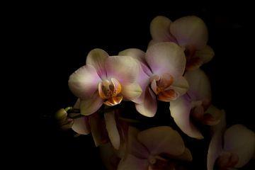 Phalaenopsis 'Peaches' van Rens Kromhout