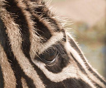 Zebra aus nächster Nähe, was für schöne Augen Sie haben. von J..M de Jong-Jansen