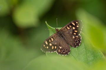 Bont Zandoogje vlinder tussen de groene bladeren van KB Design & Photography (Karen Brouwer)
