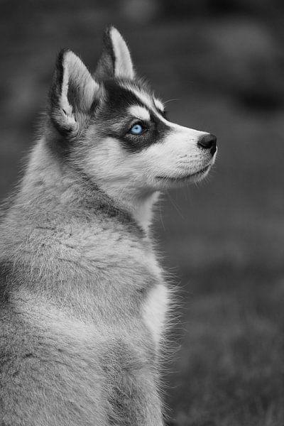Husky von Astrid Brouwers