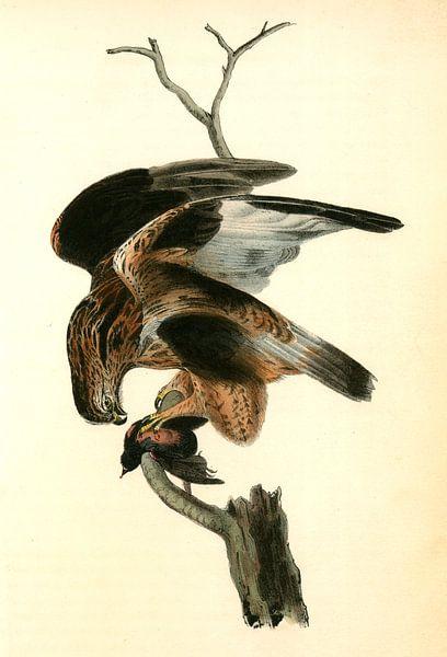 Rough-legged Buzzard., Audubon, John James, 1785-1851, Buizerd van Liszt Collection