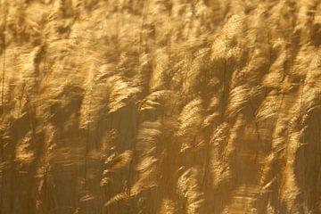 Wuivend riet (Phragmites australis) met tegenlicht. van