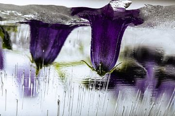 Glockenblume in Eis 1