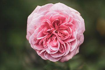 Englische Rose von Tania Perneel