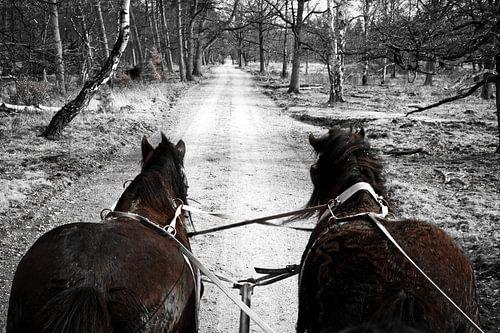 Huifkar met trekpaarden door de Veluwe