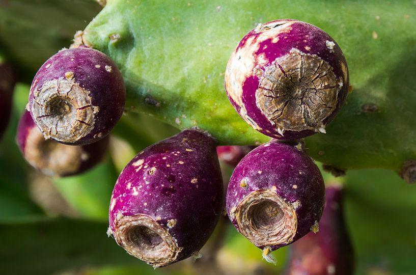 Vruchten van de Opuntia cactus van Rietje Bulthuis