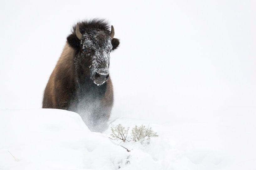 Amerikanischer Bison ( Bison bison ) bricht durch eine Schneewehe, Yellowstone NP, Wyoming, USA. von wunderbare Erde