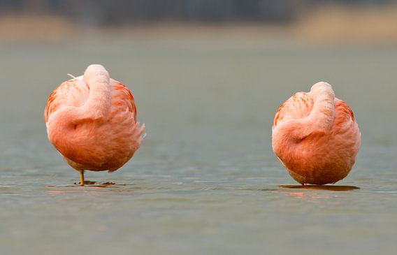 Twee Flamingo's lekker aan het rusten van Menno Schaefer