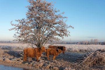 Schotse Hooglander met kalveren in winterlandschap van Ans Bastiaanssen