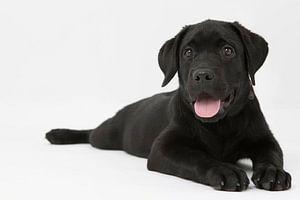 labrador puppy op een witte achtergrond van