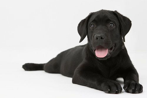 labrador puppy op een witte achtergrond van Giovanni de Deugd