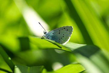 Icarusblauwtje van Martin Smit