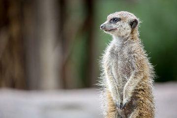Suricate (ou suricate) à l'affût. sur Joost Adriaanse