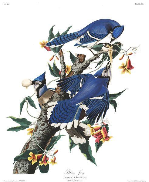Blauwe Gaai van Birds of America