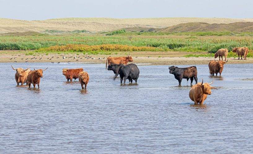 Schotse Hooglanders op Texel. van Justin Sinner Pictures ( Fotograaf op Texel)