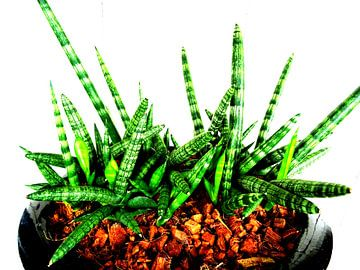 Kamerplant: Sansevieria Cylindrica Shabiki 1 van MoArt (Maurice Heuts)