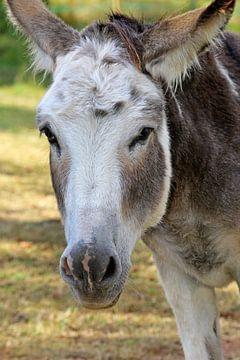 Esel von Norman Krauß