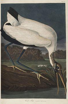 Bos ibis - Teylers Edition - Birds of America, John James Audubon van Teylers Museum