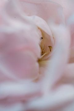 Roos, roze van Carolina D'Andrea