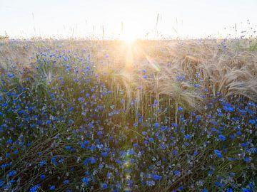 Kornblumen und Mais auf dem Feld im Gegenlicht von anton havelaar