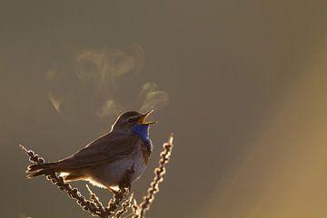 Blauwborst zingend met tegenlicht van Menno van Duijn