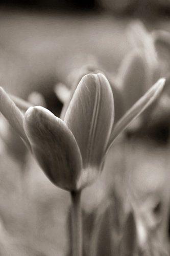 MAGIC FLOWER - SEPIA