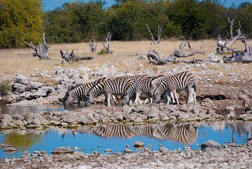 Zebra's bij de drinkplaats van