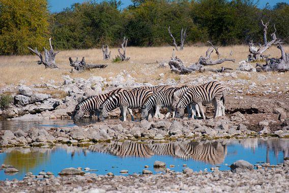 Zebra's bij de drinkplaats van Miranda Zwijgers