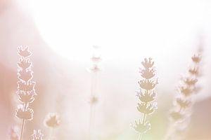 Lavendel 1 van