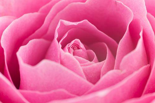 Prachtige roze roos close-up van