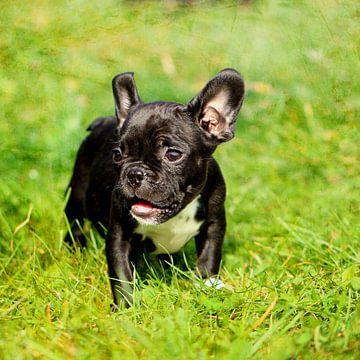 Französische Bulldogge 12 van Heike Hultsch