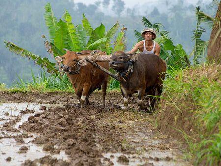Traditional Rice Field Ploughing von Bob de Bruin