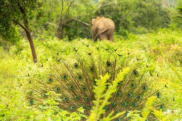 Udawalawe-Wildpark. Elefant und Pfau von Nicole Nagtegaal