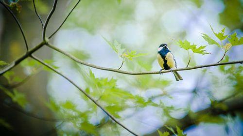 Gele Koolmees zit rustig fluitend op groene boomtak