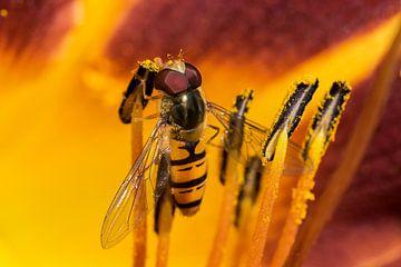 Le voleur de pollen - Schweb voler sur Christine Nöhmeier