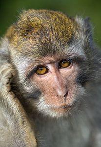 Portret Makaki aapje van