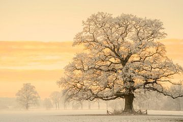 Winterlicht über mächtiger Eiche von Lars van de Goor