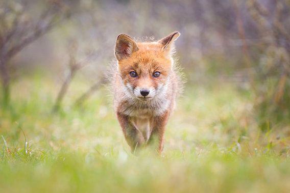 vossen welp van Pim Leijen