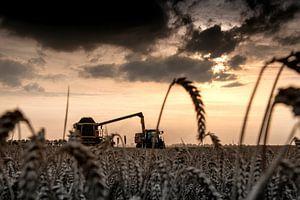 Graanoogst in de polder